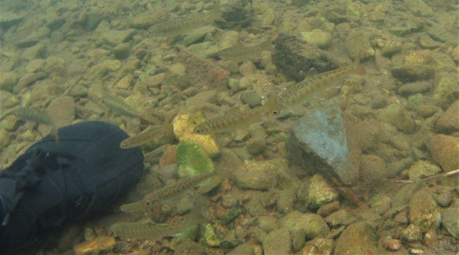 マスノスケ(稚魚) Iliuliuk川 アリューシャン列島Unalaska島, アメリカ