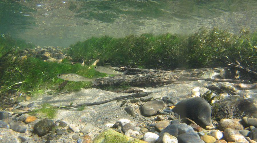 カワヒメマス(幼魚) Amur川支流Anyuy川 ロシア