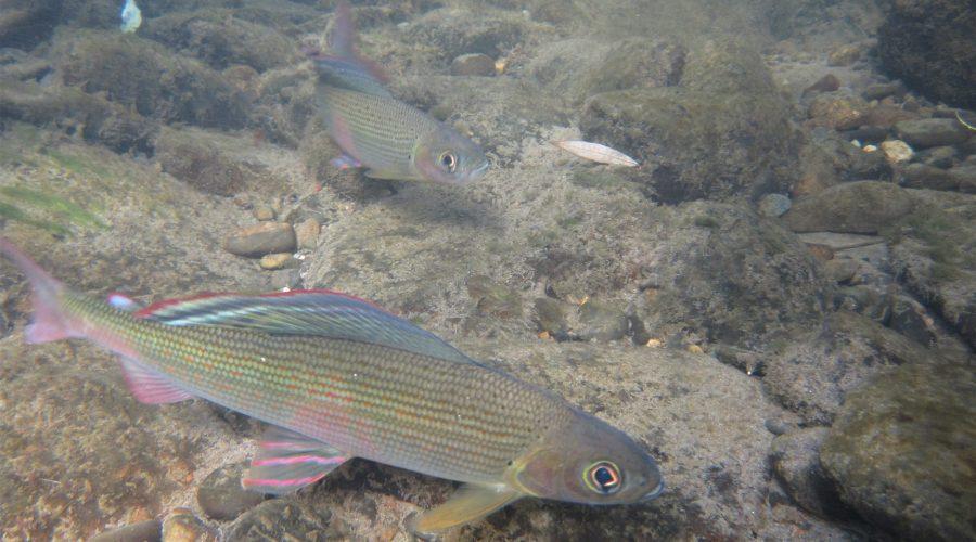 遊泳するカワヒメマス Amur川支流Anyuy川 ロシア