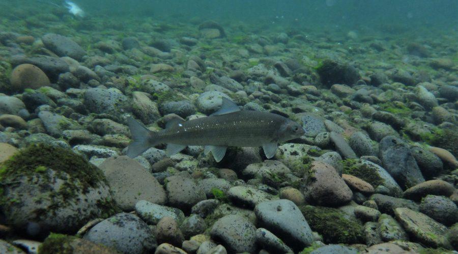 ホワイトフィッシュ Clackamas川 オレゴン州 アメリカ